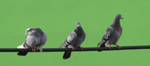 LottoBirds